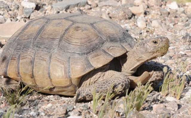 Tortoise-66